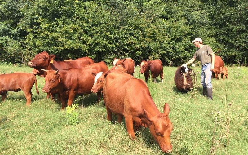 Cattle grazing through the fields