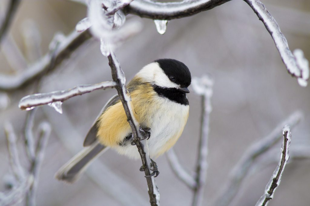 Winter Chickadee by Dave J Doe