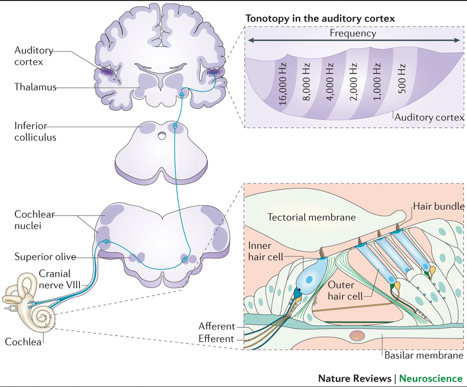 the human auditory pathway